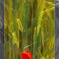 Red poppy in a wheat field