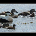 Common eiders at Ytri Tunga
