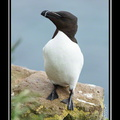 Razorbill on the Látrabjarg cliffs